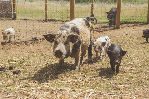 Pig Keeper Experience for Two at Kew Little Pigs