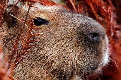 Meet the Capybaras
