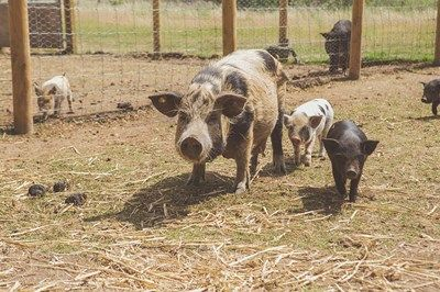 Meet the Pigs for a Family of Four at Kew Little Pigs