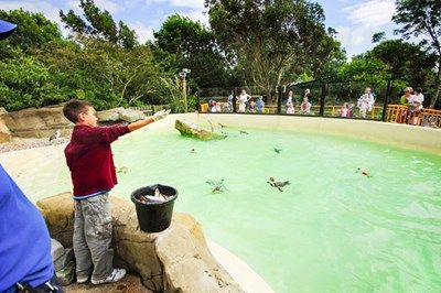 Penguin Feeding Experience at Drusillas Zoo Park