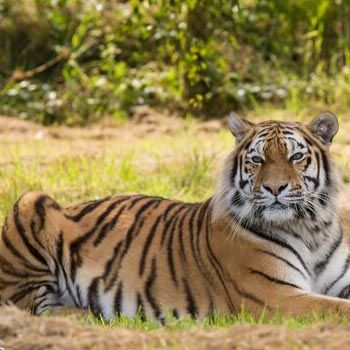 Try your hand at photographing Big Cats