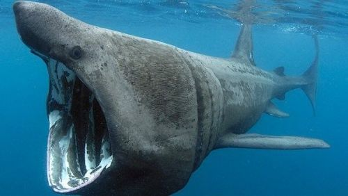 Take part in the Basking Shark Project