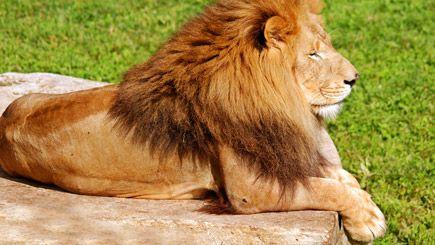 The majestic lion... beautiful!