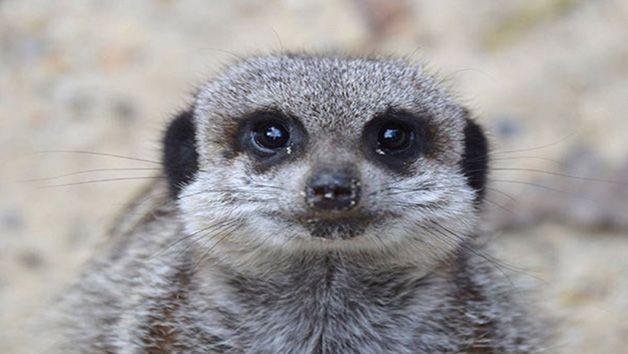 2 for 1 Meerkat Encounter