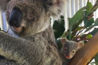 Please give this appeal your support and help koalas