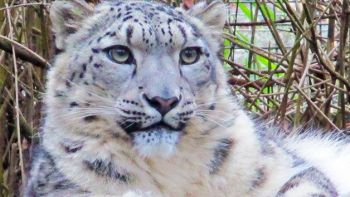 Entry to Linton Zoo and a Snow Leopard Meet and Feed for One