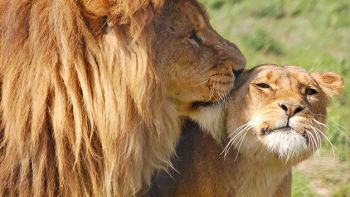 Entry for Two to Linton Zoo with a Big Cat Meet and Feed