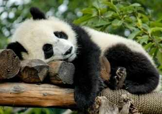 Sleepingpanda