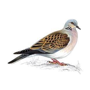 Have you seen a turtle dove?