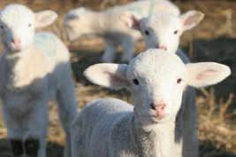 lambslookingatcamera