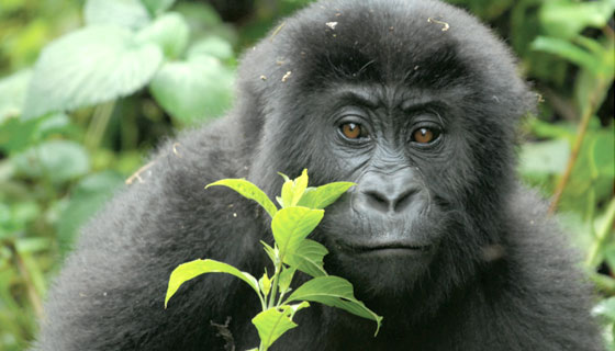The endangered Eastern Lowland Gorilla