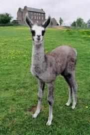 Llama Farm Croft Ambrey