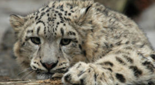Responsible Travel list snow leopard holidays - click here to find out more