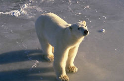 It's easy to help polar bears - scroll down the page to see how you can make a difference