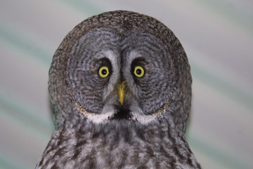 Introduction to Owl Handling - a 2 for 1 Offer from Virgin Experience Days