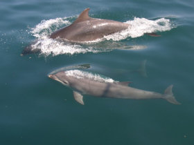 responsible travel - dolphins in Scotland Silurian