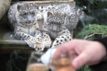 Champagne Breakfast with the Snow Leopards for Two
