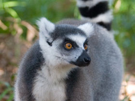 Helping the Madagascar Lemur
