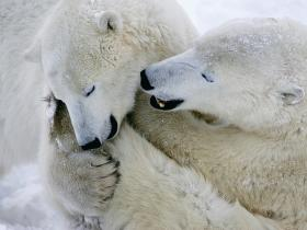 Click here for info about a polar bear watching tour in Canada