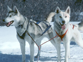 What about a husky safari in Finland?