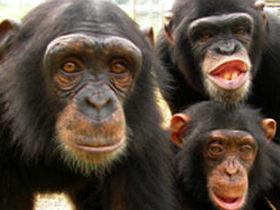 Volunteer with rescued chimps in Spain