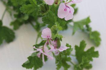 birdbush kay lye scented geranium 5