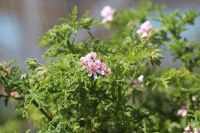 <!-- 230 -->candy dancer scented leaf pelargonium