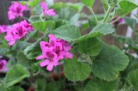 <!-- 930 -->scilly mauve scented leaf pelargonium