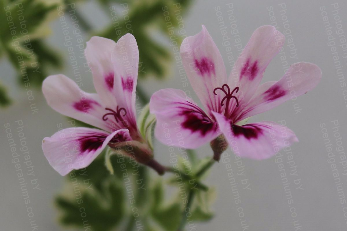 Pelargonium annsbrook beauty scented geranium
