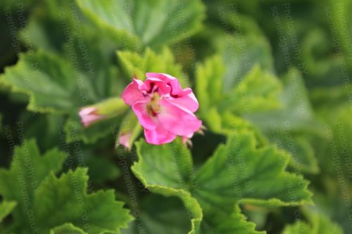 <!-- 440 -->fairlop spicy spearmint scented pelargonium