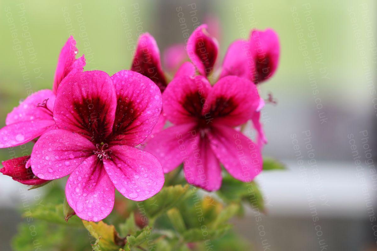 Pelargonium ashby scented geranium