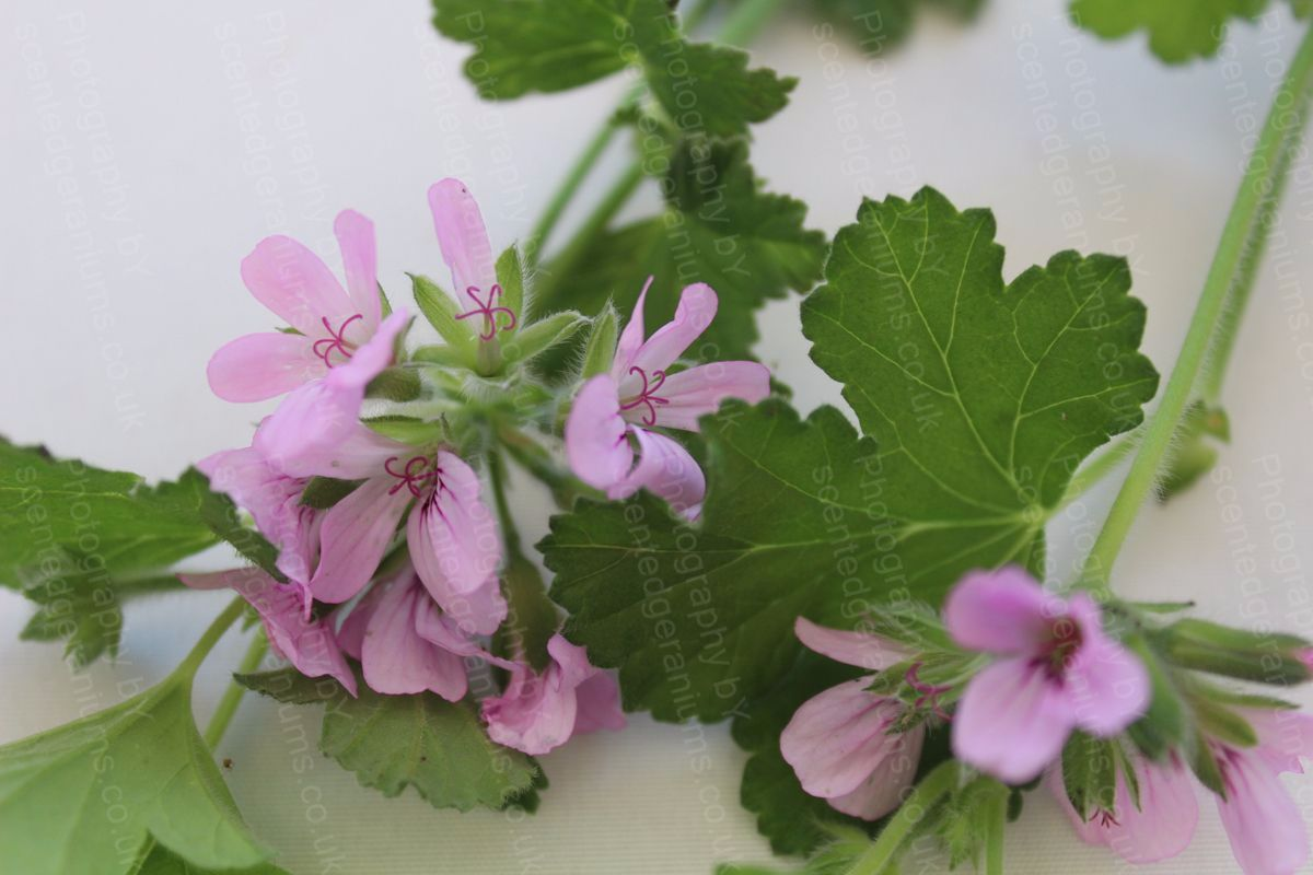 Pelargonium attar of roses scented geranium