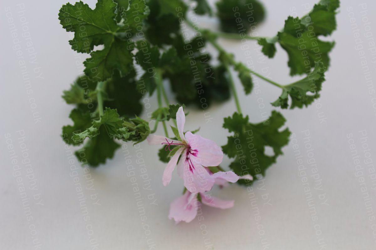 Pelargonium birdbush bobby scented geranium