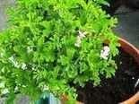 Pelargonium birdbush julie anne scented geranium