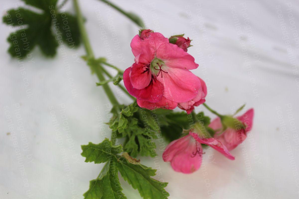 birdbush pink and perky scented geranium (7)