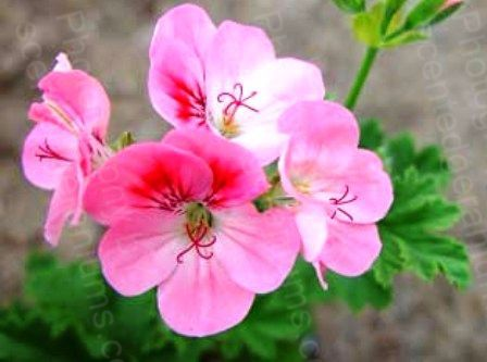 Pelargonium birdbush pink and perky scented geranium