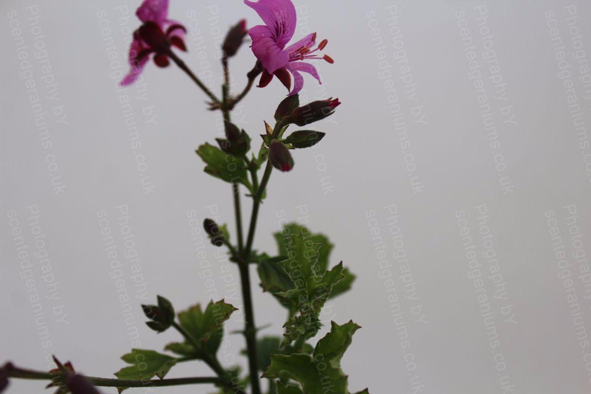 Pelargonium birdbush victoria scented geranium