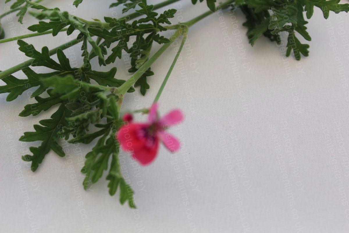 blandfordianmum scented geranium 15