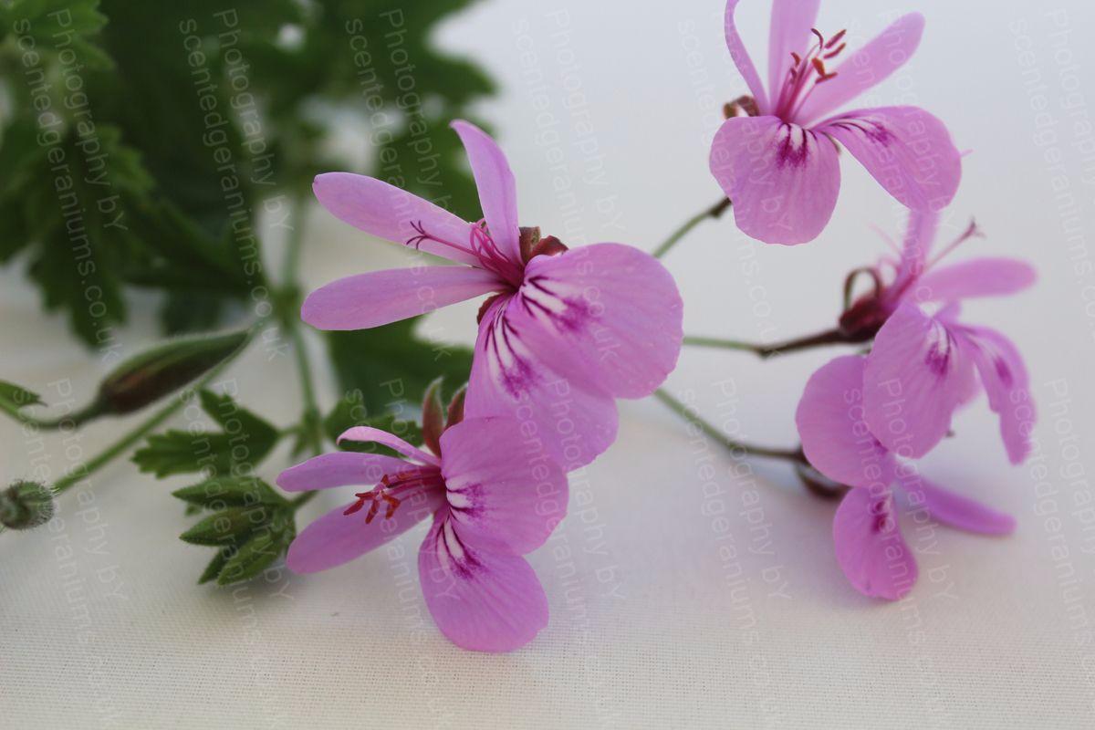 P. citronella scentedgeraniums.co.uk
