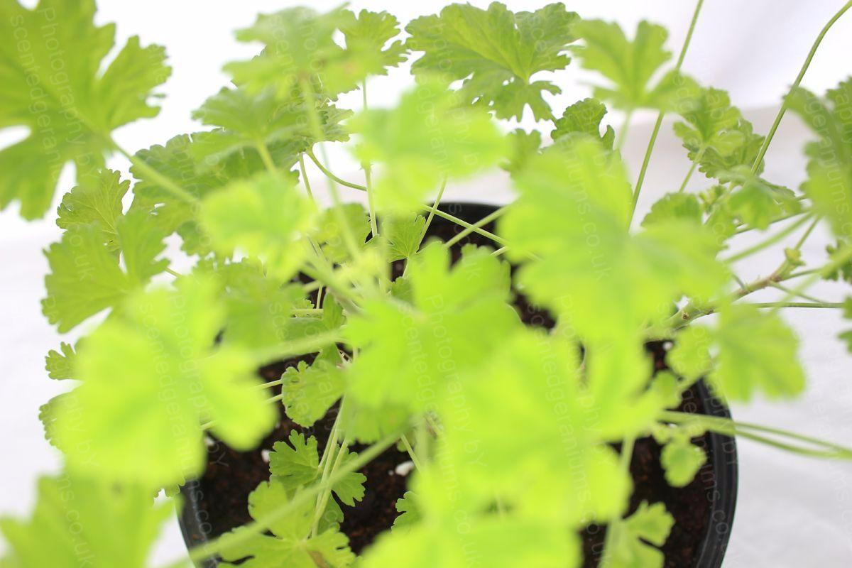 Pelargonium creamy nutmeg scented geranium