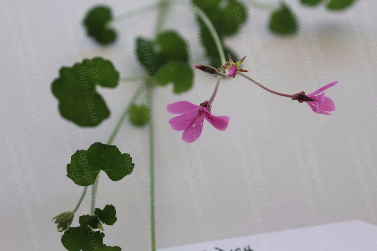 pelargonium dichondraefolium roseum scented geranium