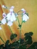 Pelargonium dichondraefolium alba scented geranium species