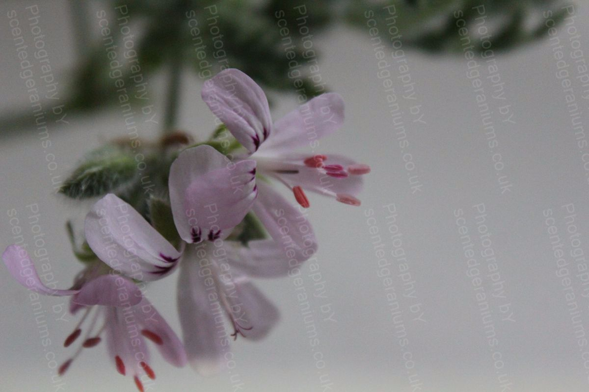 Pelargonium fern mint scented geranium