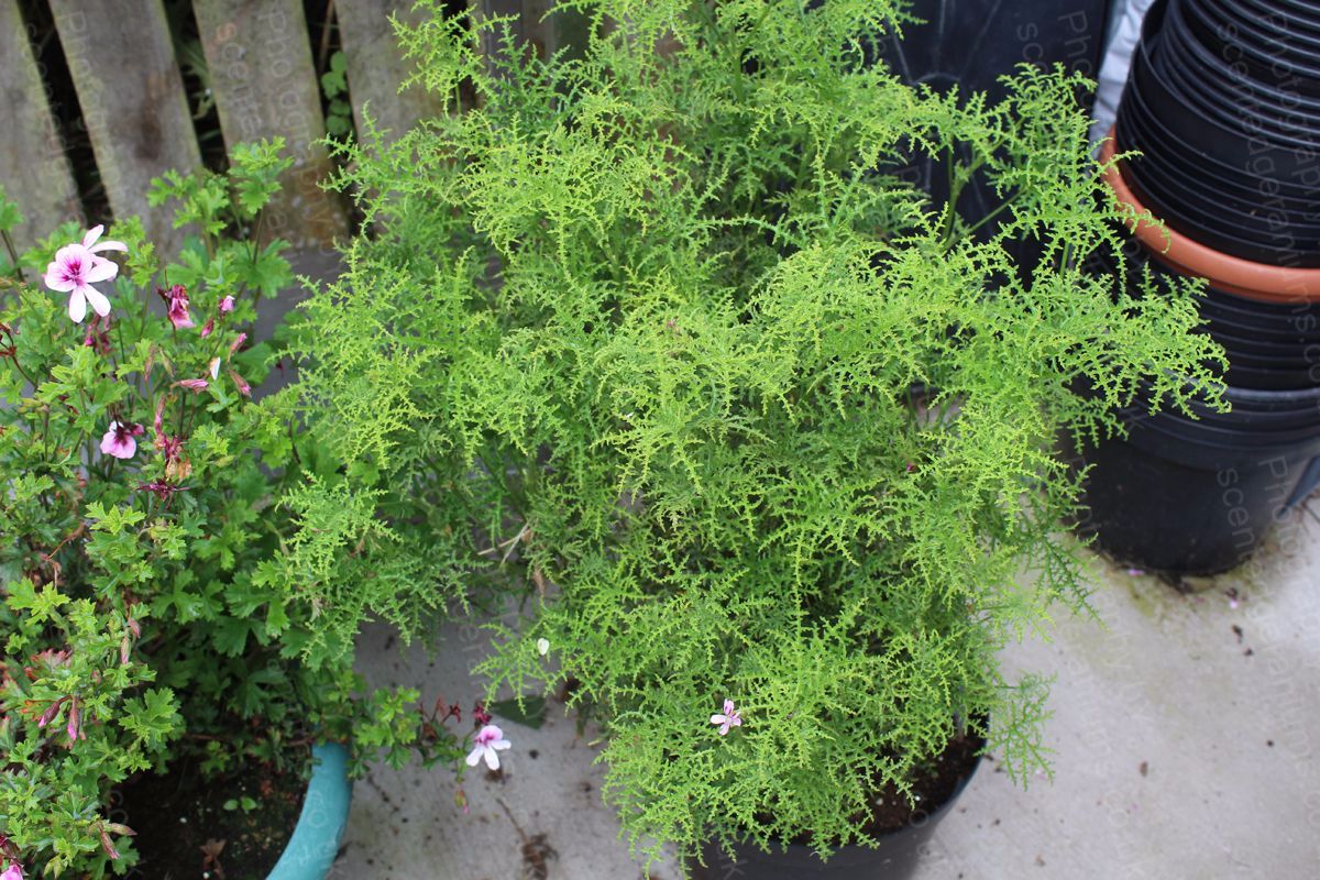 Pelargonium filicifolium scented geranium