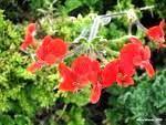 Pelargonium fulgidum scented geranium species