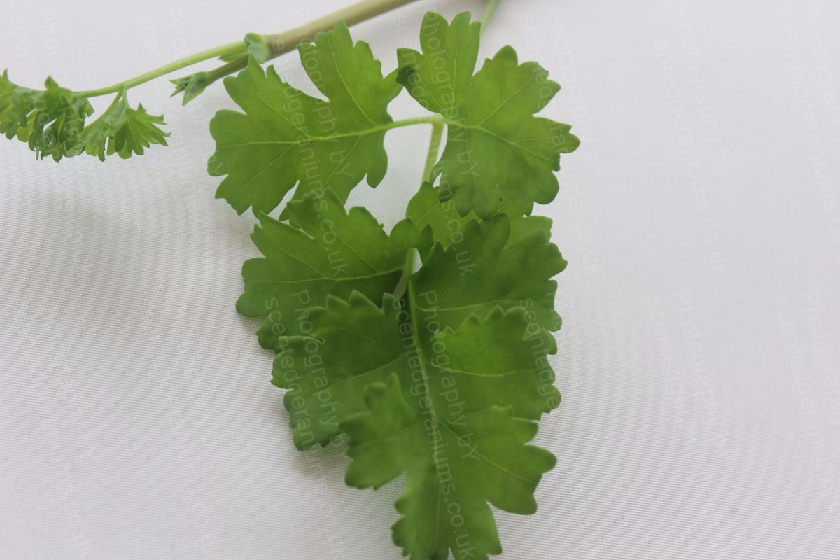 Pelargonium gibbosum scented geranium species
