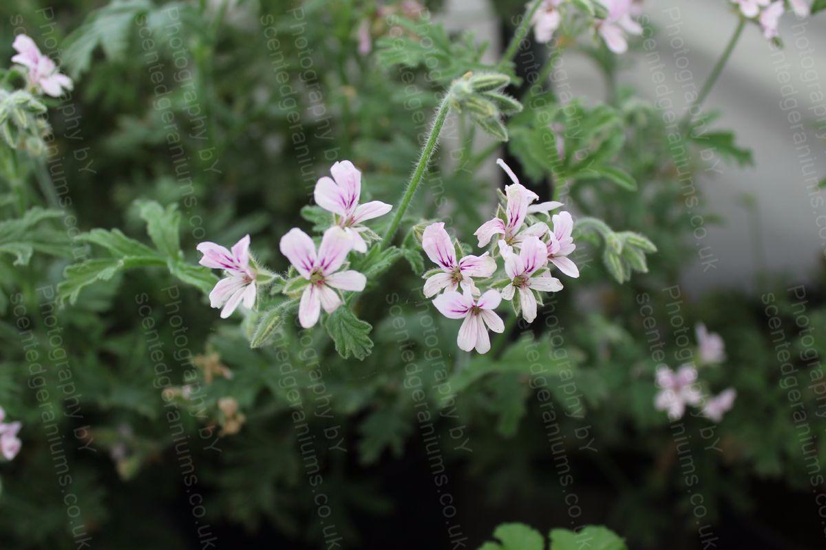 Pelargonium grey lady plymouth scented geranium