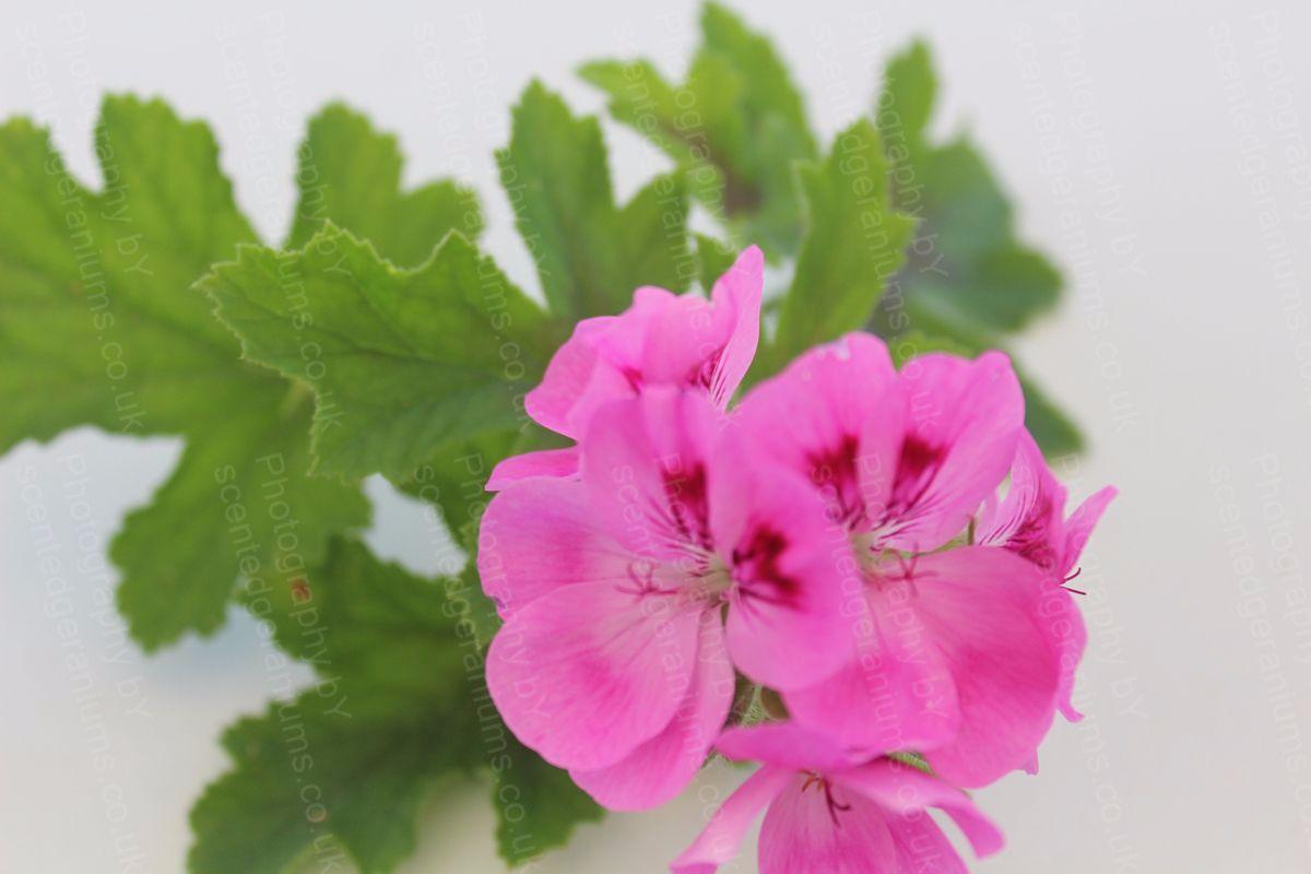 Pelargonium hemley scented geranium