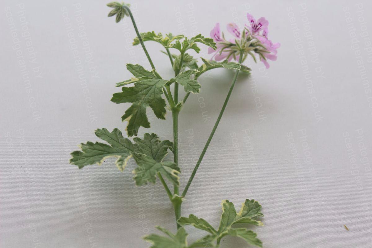 Pelargonium lady plymouth scented geranium