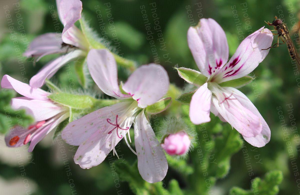 Pelargonium imperial butterfly scented geranium